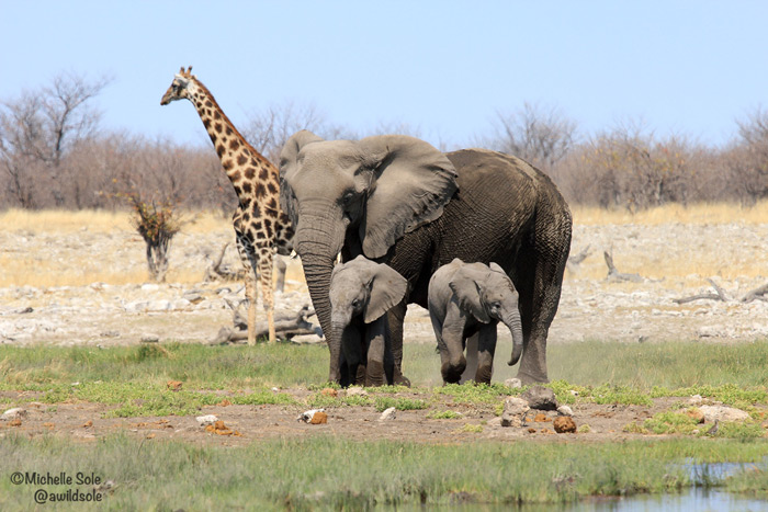 giraffe elephant