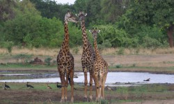 giraffe-group-in-luangwa