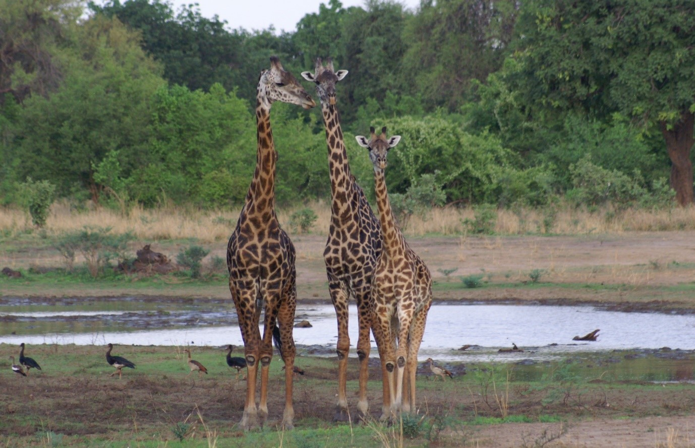 giraffe-group-in-luangwa