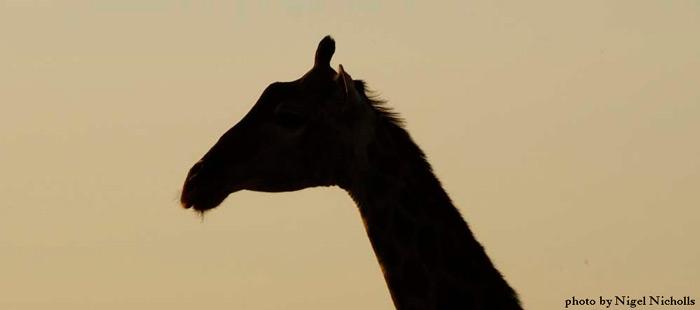 giraffe-silhouette-art-on-safari