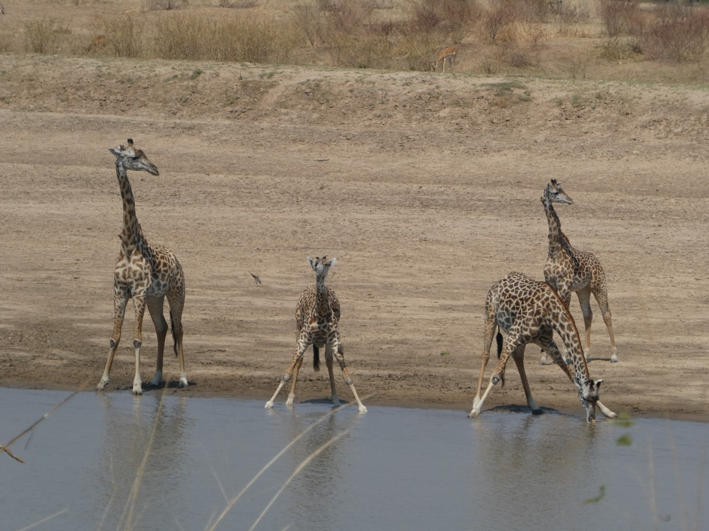 giraffes-drinking-by-the-warerhole