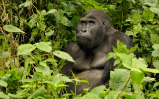 The murder of Jacques has conservationists worried about the future of the rangers as well as the gorillas. ©FLPA/REX/Shutterstock