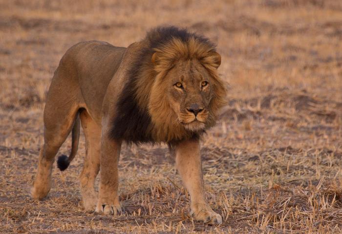 hwange-lion-walking