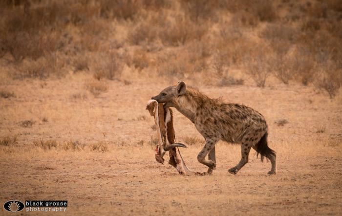 hyena-kgalagadi