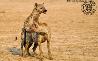 hyenas-mating