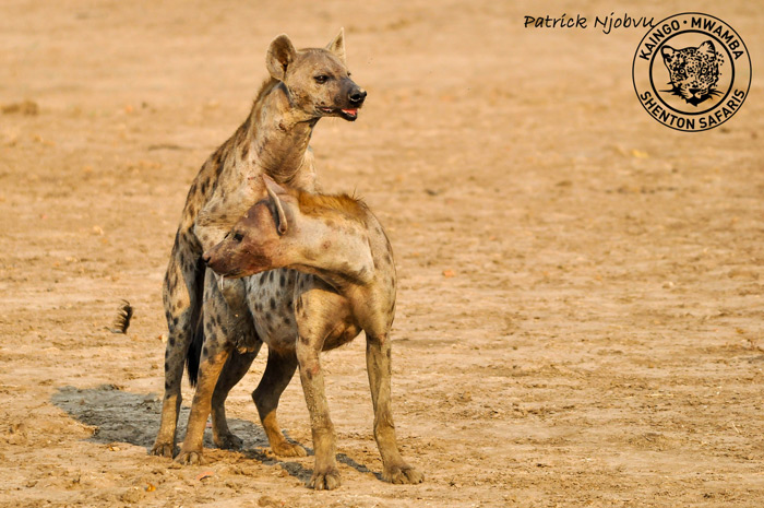 Video Hyenas Mating In Broad Daylight Africa Geographic