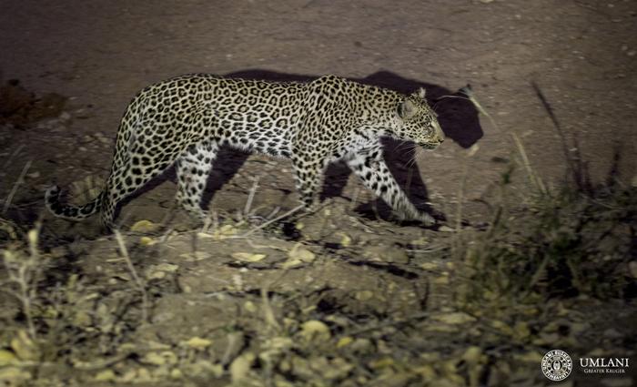 night-stalk-leopard