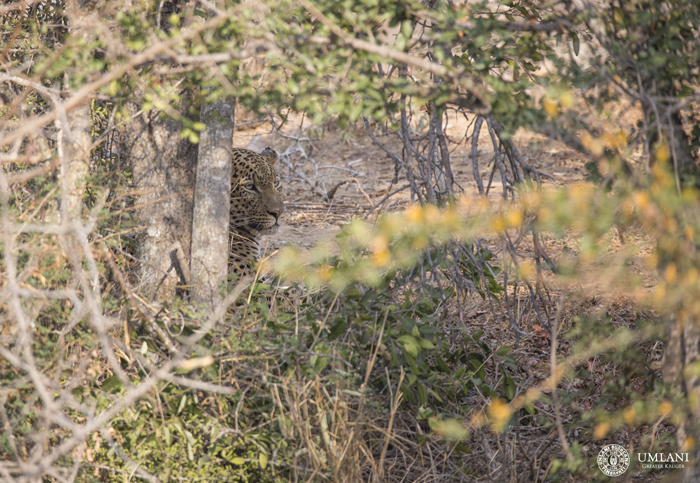 A Leap Of Leopards In The Timbavati Africa Geographic