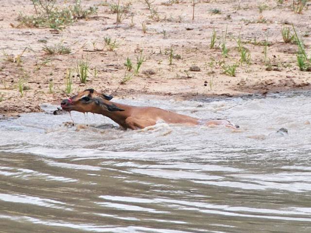 Impala-swimming