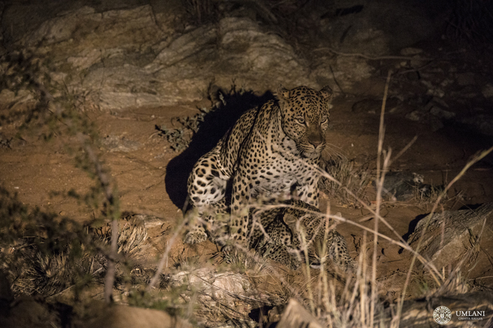 nighttime-leopards-mating