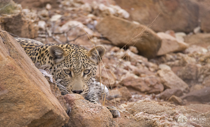 young-leopard-hiding