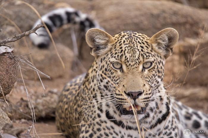 young-leopard-portrait