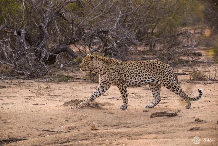 leopard-full-view