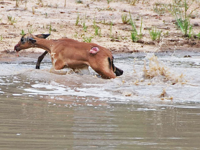 impala-escaping-crocodile