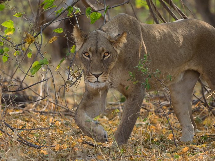 Lioness on the prowl ©Joe Knapmann
