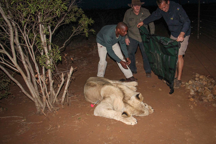 lion release