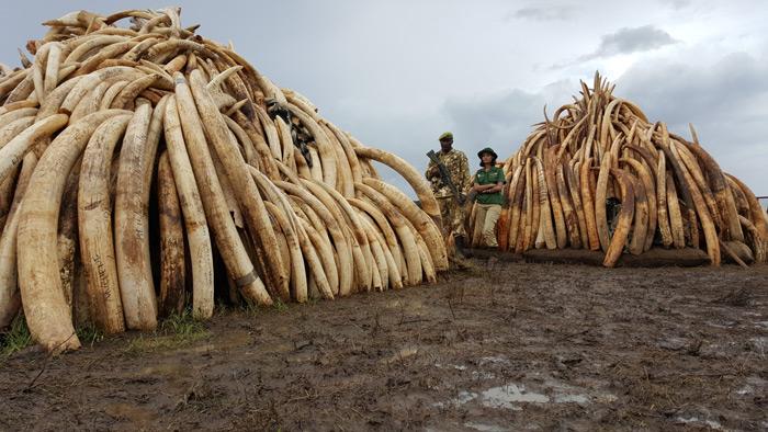 ivory-stockpiles-kenya