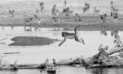 leaping-baboon-in-water