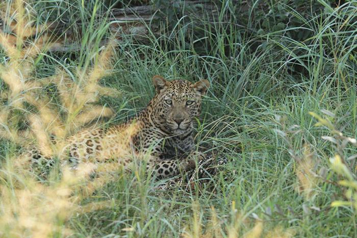 leopard-in-grass