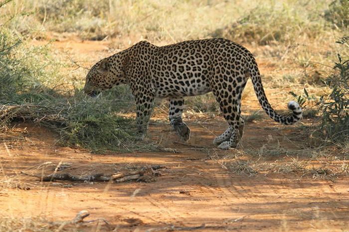 leopard-on-patrol