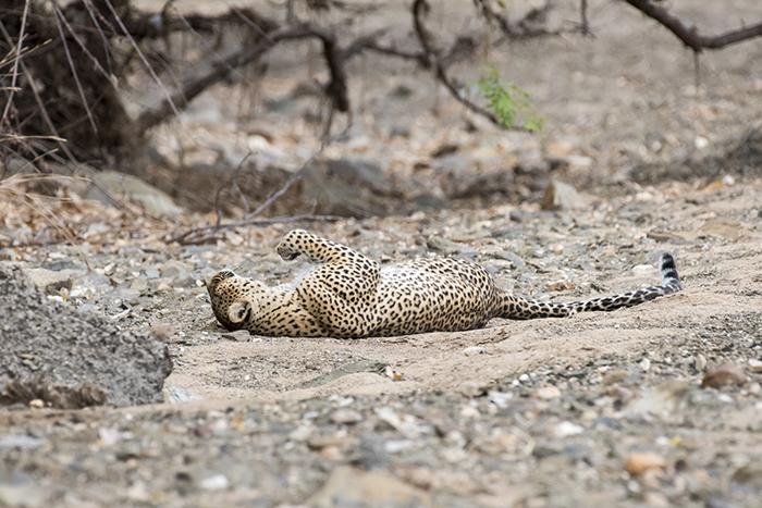 leopard-roll-around