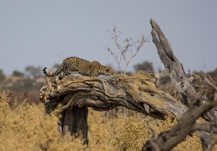 leopard-stalking-savuti