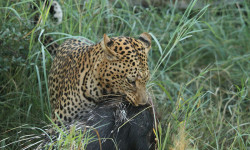 leopard-with-porcupine-kill