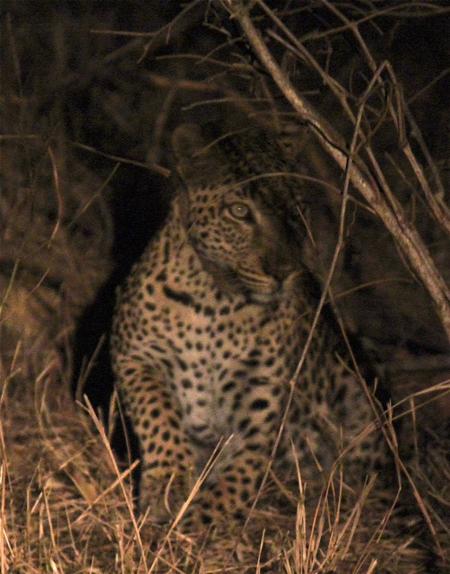 nighttime-leopard-headlights
