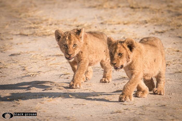 lion-cubs-kgalagadi