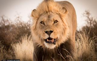 lion-kgalagadi