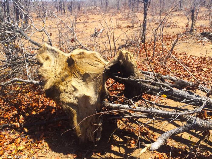 Lions Poisoned For Bones On Border Of Kruger Africa
