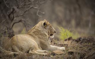 lion-sleeps-tonight