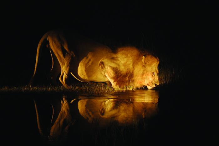 chobe-lion