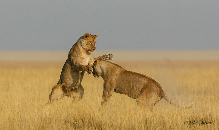 Lions playing near Salvadora waterhole with the pan in the background.