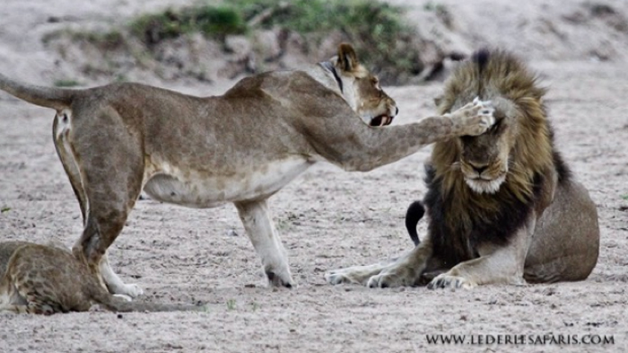 lioness-lion-interaction