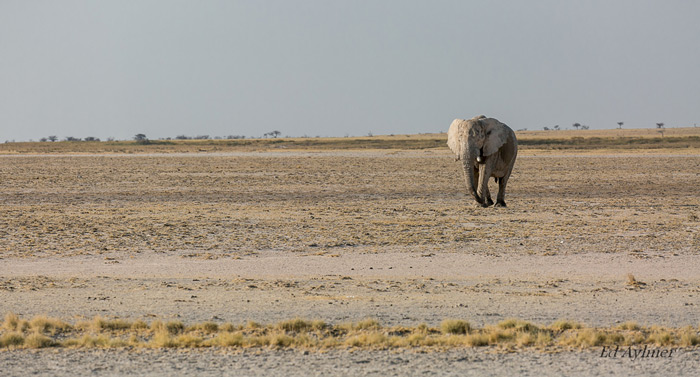 A lone elephant trudges through a vast barren landscape on its way to a waterhole. I wanted to show the Elephant in its environment and the long distances it has to walk for a drink.