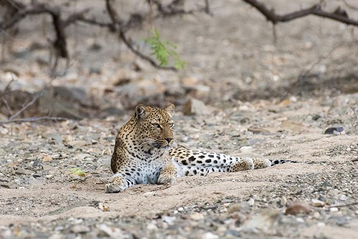 male-leopard