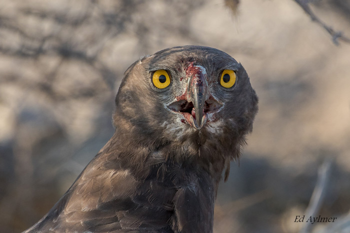 A Martial Eagle at the Goas waterhole stares into the lens with its striking eyes. The blood on the beak is evidence of a recent kill.