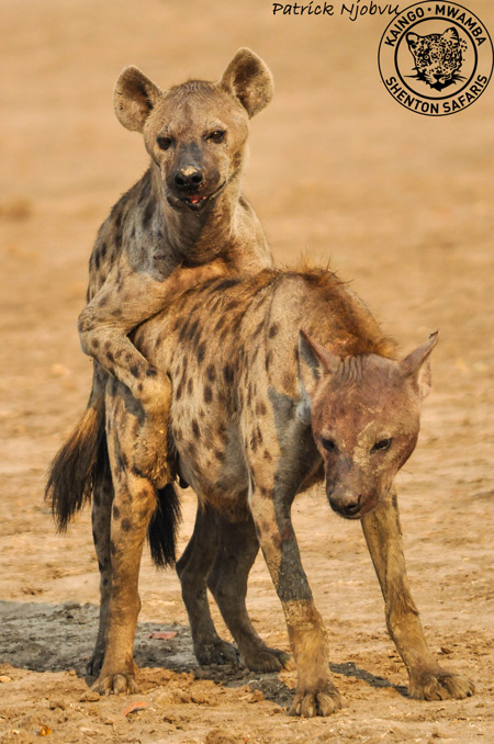Video Hyenas Mating In Broad Daylight - Africa Geographic-1536