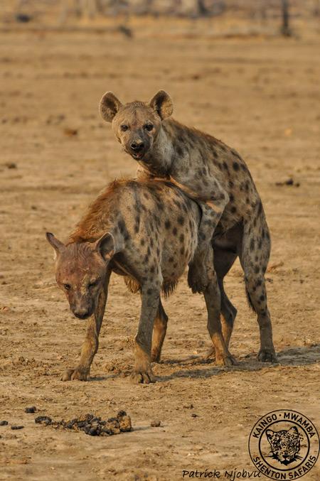 Spotted hyena clitoris