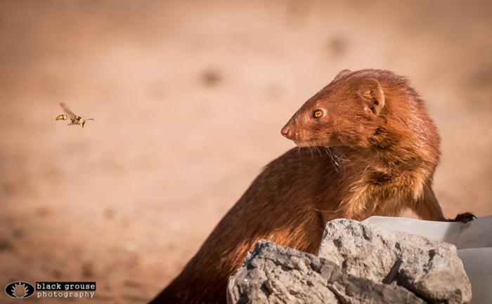 mongoose-kgalagadi
