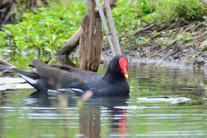 moorhen-at-the-cavern