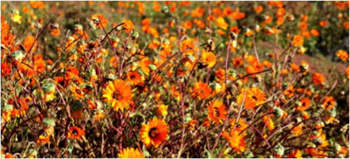 orange-daisies-elands-bay