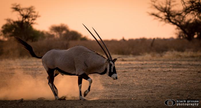 oryx-kgalagadi