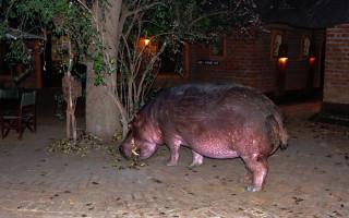 paul-tiller-hippo-in-camp