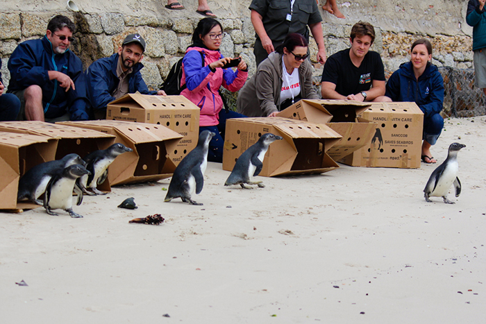 penguins-being-released-at-penguin-festival
