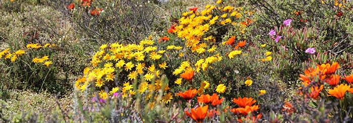 roadside-daisies