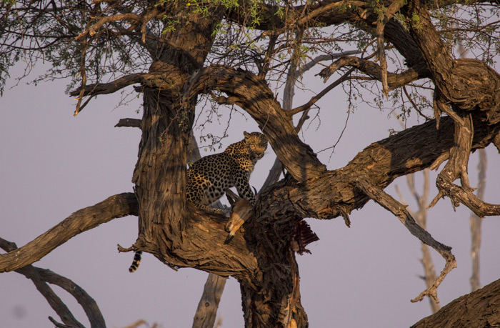 Kickstarting the safari in style by seeing a leopard in a camelthorn tree. ©Francois van Heerden