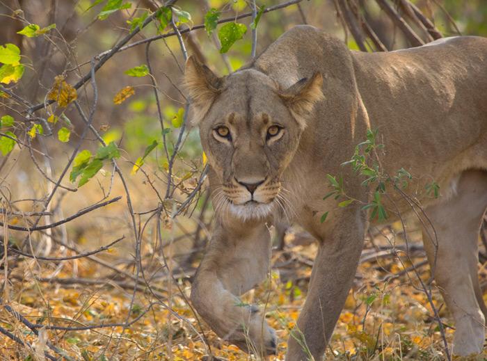 savuti-lioness