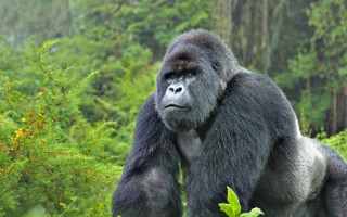 silverback-gorilla